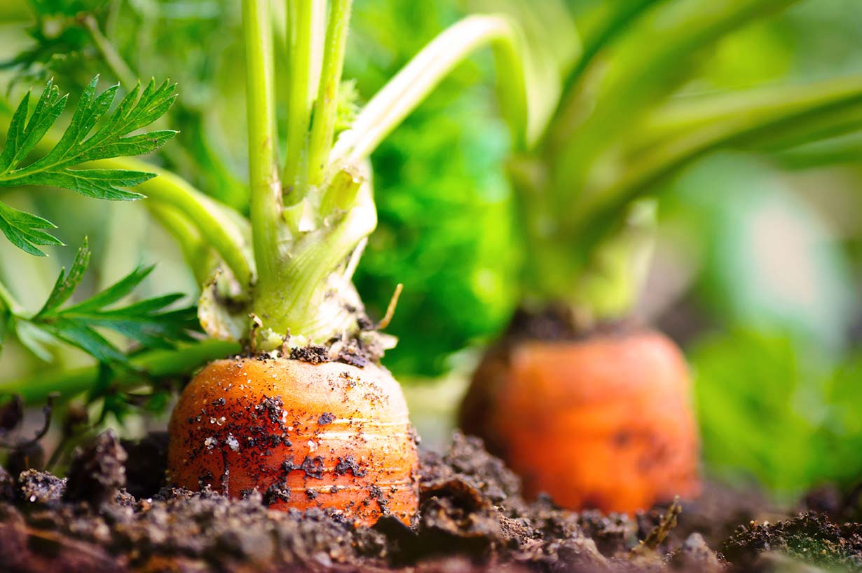 Nutzgarten Anbau Gemüse Karotten